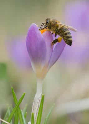 Apis cf. mellifera - Zornheim, Garten 3/2017 (ev. Honigbiene)
