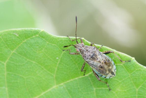 Stictopleurusa punctatonervosus - Zornheim, Garten 7/2017