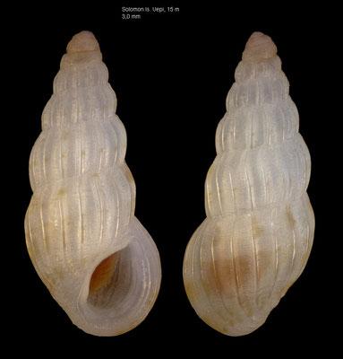 Rissoina honoluluensis - Solomones, Uepi Is., 15 m 2018
