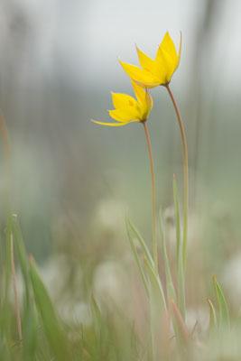 Tulipa sylvestris - Gau-Odernheim, Weinberg 4/2017 (Wilde Tulpe)