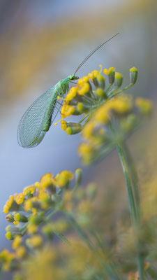 Chrysoperla carnea - Zornheim, Garten 7/2015 (Grüne Florfliege)