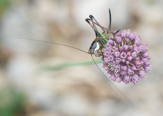 Eupholidoptera chabrieri ♀ - Kroatien, Cres, Camp Slatina 6/2017 (Grüne Strauchschrecke)