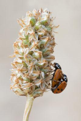Hippodamia variegata - Kroatien, Cres, Camp Slatina 6/2017 (Variabler Flach-Marienkäfer)