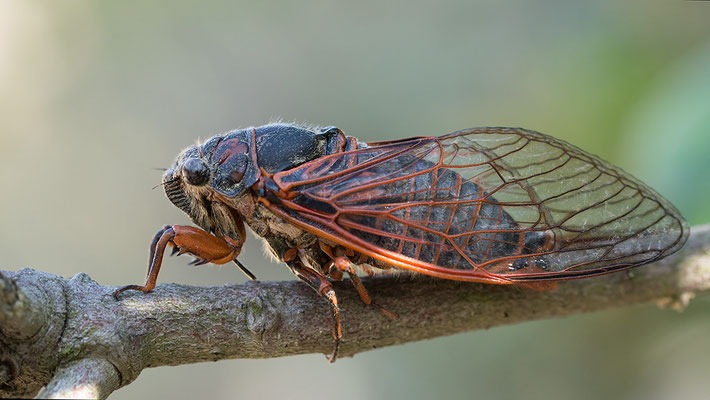 Tibicina haematodes - Kroatien, Losinj 6/2014 (Blutaderzikade)