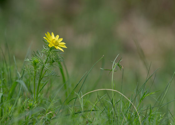 Adonis vernalis - Lennebergwald 4/2015 (Frühlings-Adonisröschen)