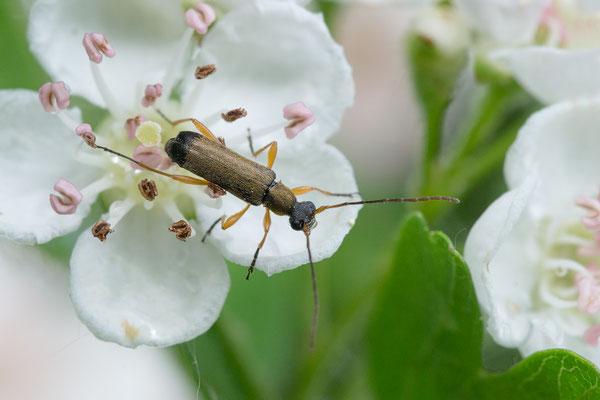 Grammoptera ustulata - Oppenheim, Steinbruch, Weißdorn 4/2018 (Eichen-Blütenbock)
