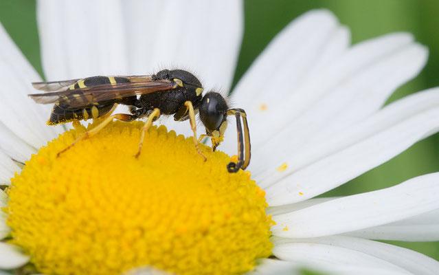 Odynerus spinipes - Zornheim, Garten 6/2016 (Gemeine Schornsteinwespe)