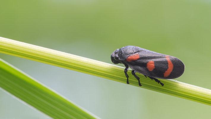 Cercopis sanguinolenta - Österreich, St.Niklas-an-der-Drau, Drauufer 5/2017 (Bindenblutzikade)