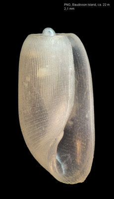 Retusa spec. 6 - Papua New Guinea, New Ireland, Baudisson Island, ca. 22 m 12/2012 (Retusidae)