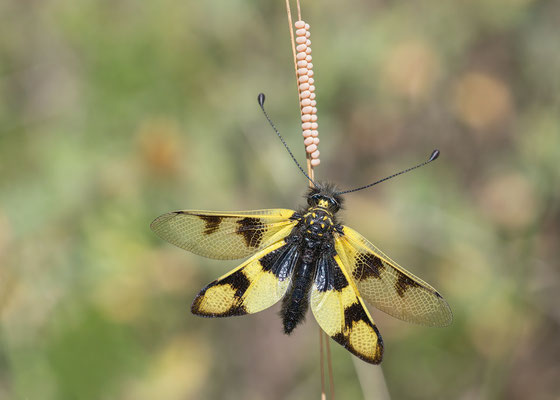 Libelloides macaronius -  Kroatien, Cres, Martinscica 6/2017 (Östlicher Schmetterlingshaft)