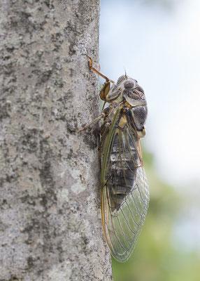 Tettigetta pygmaea - Kroatien, Losinj 6/2014 (Fam. Singzikaden)