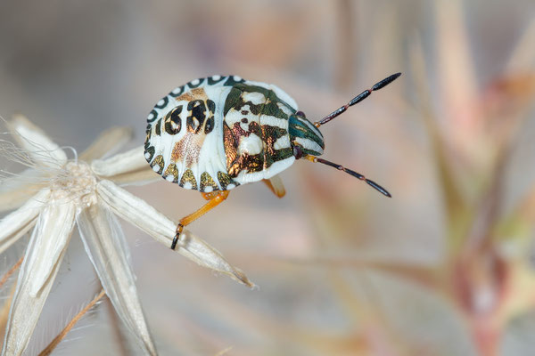 Carpocoris purpureipennis - Kroatien, Cres, Martinscica, Camp Slatina 6/2017 (Larve nördl. Fruchtwanze)