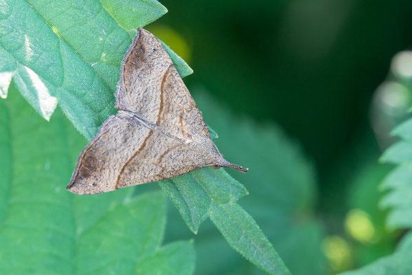 Hypena proboscidalis - Zornheim, Flügelsbach, Brennnessel 8/2017 (Nessel-Schnabeleule)