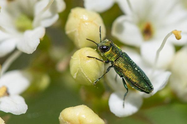 Anthaxia nitidula ♂- Dexheim, Steinbruch am Farrenberg, an Weißdorn 4/2017 (Glänzender Blütenprachtkäfer)