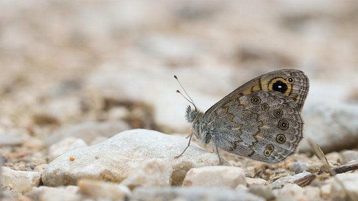 Lasiommata maera - Kroatien, Losinj 6/2014 (Braunauge)