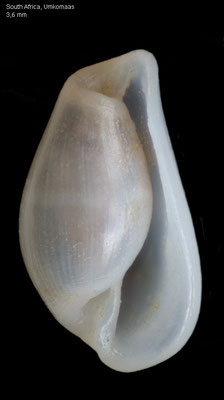 Pyrunculus spec. 1 - South Africa, Umkomaas, 120-150m, 2016 ( Fam. Retusidae)