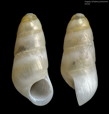 Halistylus columna - Uruguay, la Paloma, at shore line 2000