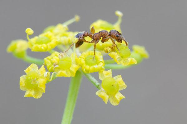 Myrmica specioides - Ober-Olmer Wald, Lichtung 8/2018 (Trockenrasen-Knotenameise)