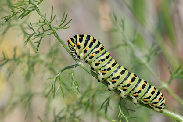 Papilio machaon - Narbonne-Plage 5/2016 (Schwalbenschwanz)
