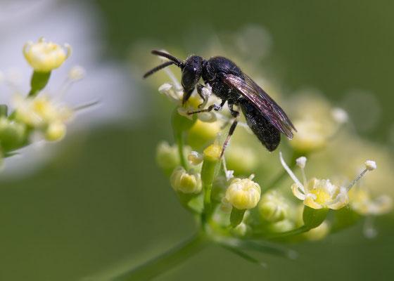 Hylaeus spec. 2 - Zornheim, Garten 6/2013 (Fam. Maskenbienen)