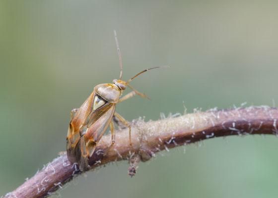 Lygus pratensis - Zornheim, Garten 9/2017 (Gemeine Wiesenwanze)