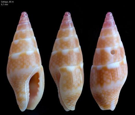 Mitrella erythraeensis - Egypt, Safaga 2014