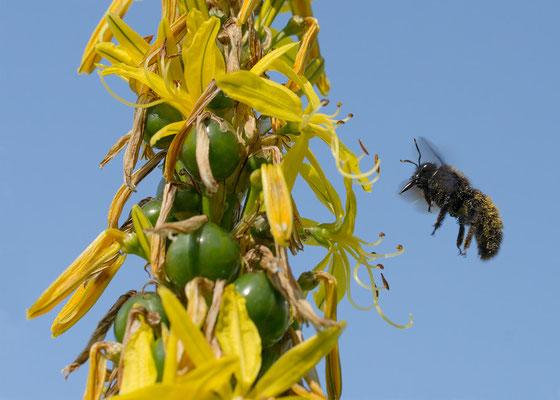 Xylocopa violacea - Zornheim, Garten, Junkerlilie  6/2013 (Blaue Holzbiene)