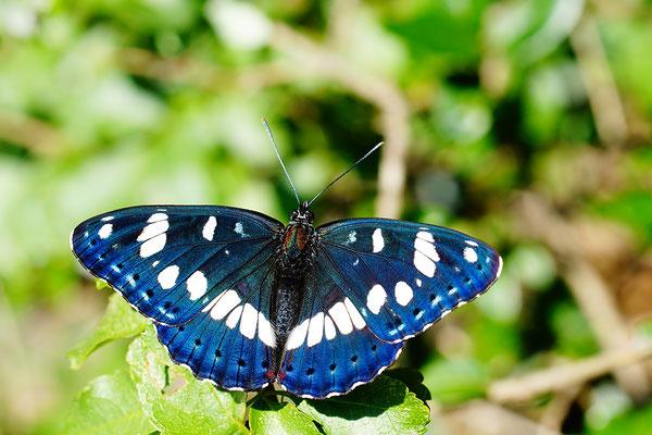 Limenitis reducta - Kroatien, Losinj 6/2014 (Blauschwarzer Eisvogel)