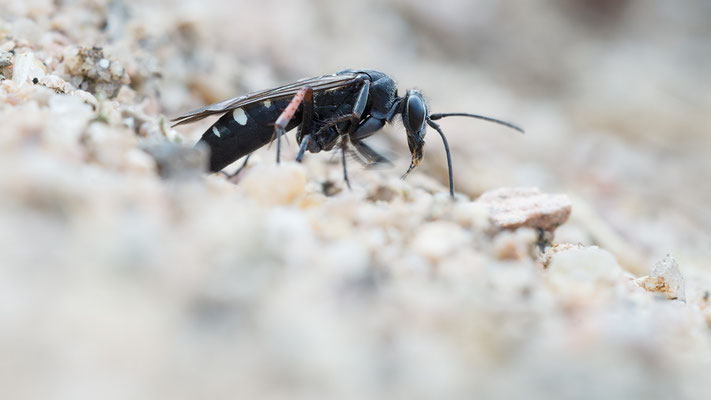 Episyron rufipes - Zornheim, Garten 7/2017 (Rotbeinige Wegwespe)