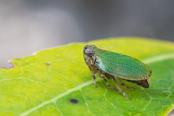 Issus species - Kroatien, Cres, Martinscica, Camp Slatina 6/2017 (Käferzikade ohne Artnamen)