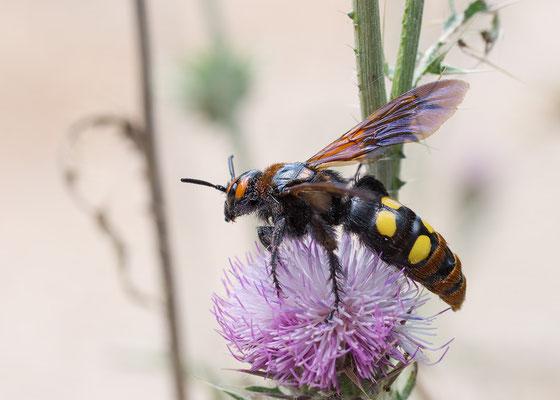 Megascolia maculata - Kroatien, Losinj, bei Osor 6/2014 (Gelbköpfige Dolchwespe)