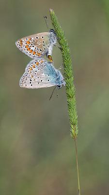 Polyommatus icarus - Mainz, Düne 5/2016 (Hauhechel-Bläuling)
