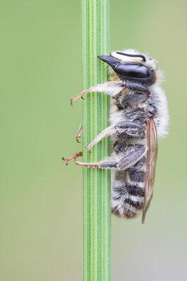 Megachile cf. ericetorum - Zornheim, Garten 7/2017 (ev. Platterbsen-Mörtelbiene)
