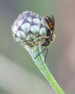 Lasioglossum calceatum - Zornheim, Selzer Berg 6/2015 (Gewöhnliche Schmalbiene)