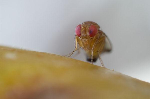 Drosophila suzukii - Zornheim, Garten, an Birne 9/2018 (Kirschessigfliege)