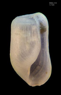Retusa desgenettii - UAE, Gulf of Oman, Dibba, beach 2/2014 (Retusidae)