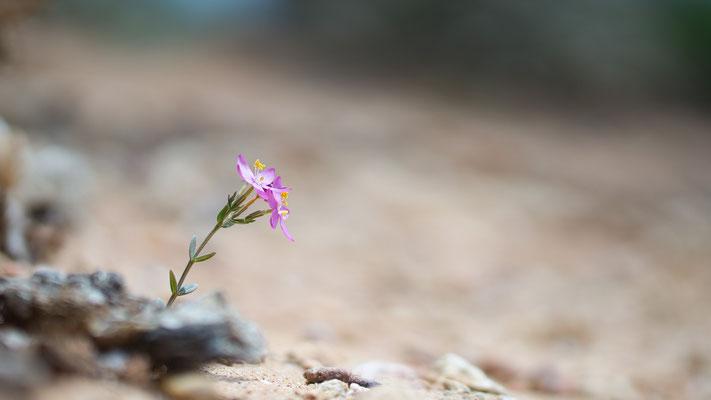 Centaurium erythraea - Spanien, Conil-de-la-Frontera 6/2015 (Tausendgüldenkraut)