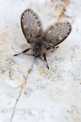 Clogmia albipunctata - Zornheim, Bad 2/2019 (Weißpunktierte Schmetterlingsmücke)