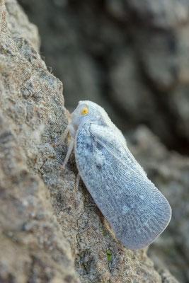 Metcalfa pruinosa - Mainz, Düne, Waldrand, an Eiche 7/2018 (Bläulingszikade)