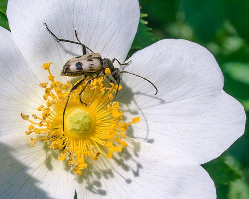 Pachytodes cerambyciformis - Schlangenbad, Wiese 6/2015 (Gefleckter Blütenbock)