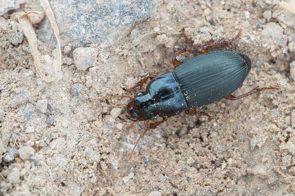 Pseudoophonus griseus - Siefersheim 5/2016 (Stumpfhalsiger Haarschnellläufer)