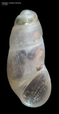 Bothryphallus epidauricus - Spain, Getares, Punta Carnero 6/2015