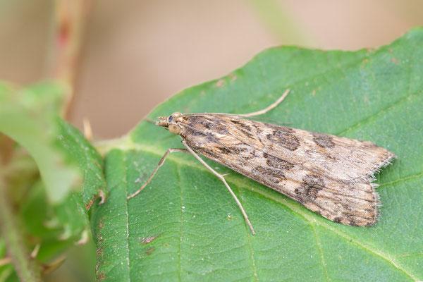 Nomophila noctuella - Mommenheim, renaurierter Bach, Brombeere 8/2015 (Wanderzünsler)