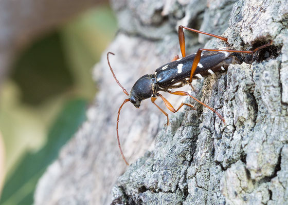 Isotomus speciosus - Kroatien, Cres, Camp Slatina 6/2017