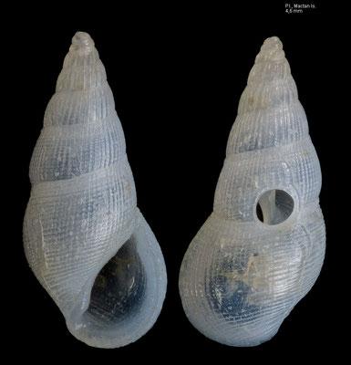 Rissoina tenuistriata - P.I., Mactan Is. 2/2009