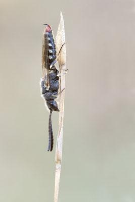 Poecilotiphia rousselii - Spanien, l´Escala 6/2019 (Tiphiidae oder Thynnidae)