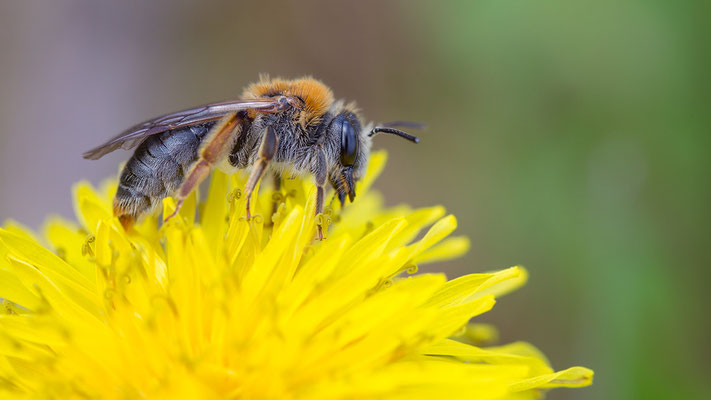 Andrena haemorrhoa - Mommenheim, Teichgebiet 4/2014 (Rotschopfige Sandbiene)