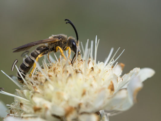Halictus scabiosae - Zornheim, Garten, Alpen-Schuppenkopf 8/2017 (Gelbbindige Furchenbiene)