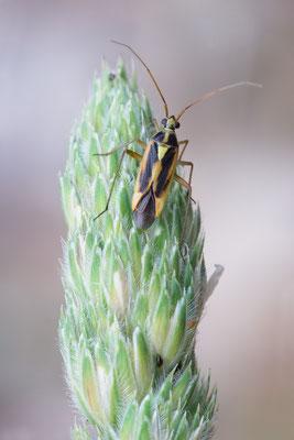 Stenotus binotatus - Kroatien, Cres, Camp Slatina 6/2017