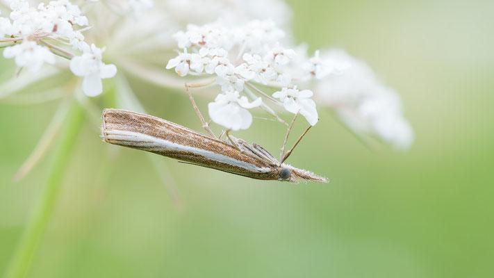 Agriphila tristella - Mörsfeld, Waldrandwiese 9/2017